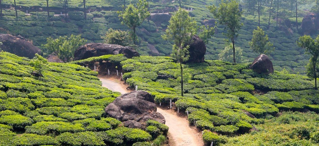 Sencha Benifuki Ichibancha ist der catechinreichste grüne Tee und damit ein wahrer Virenkiller.